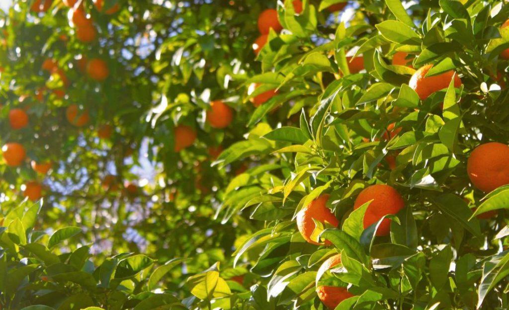 apelsinträdet